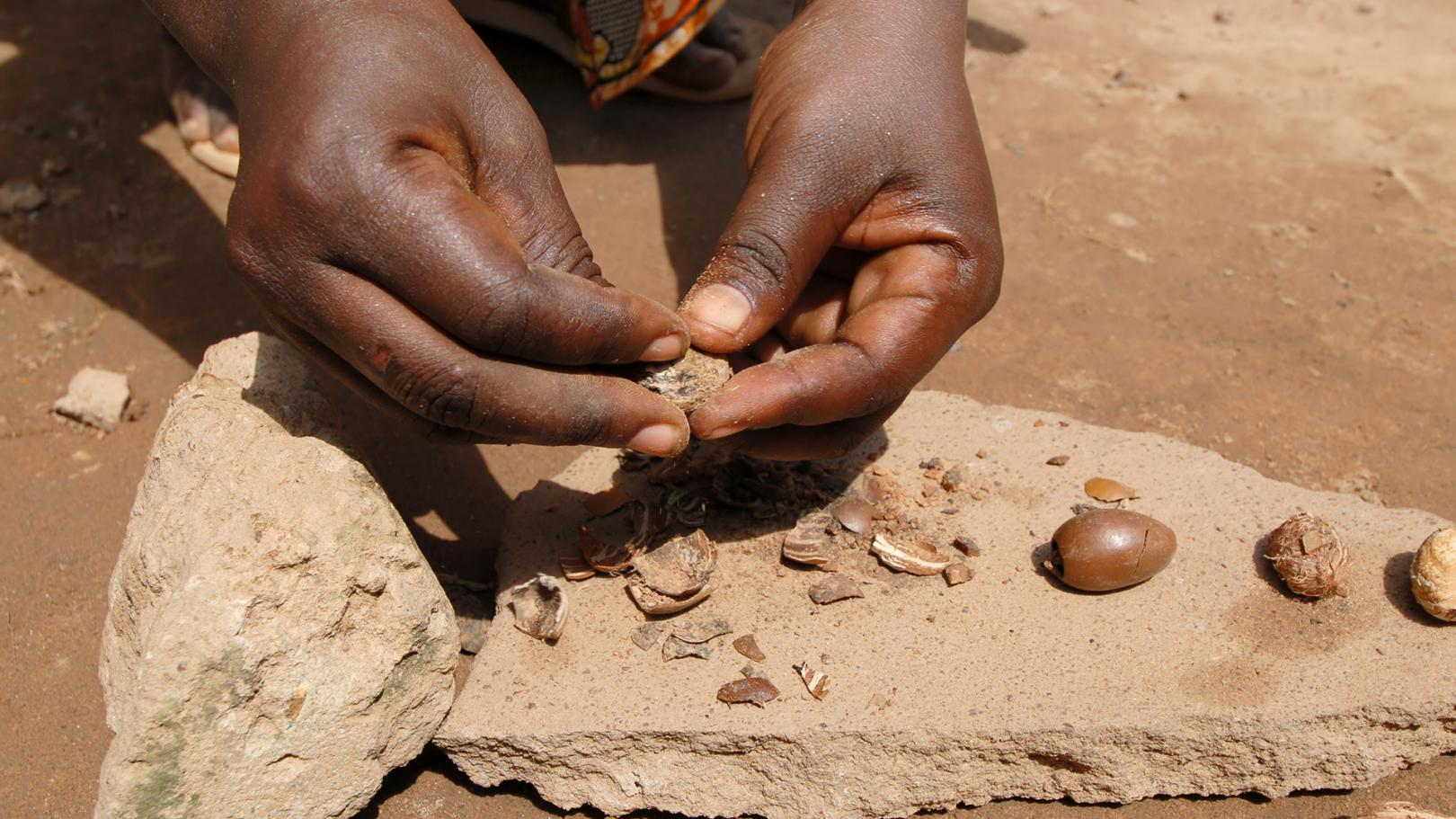Two hands handling a shea nut