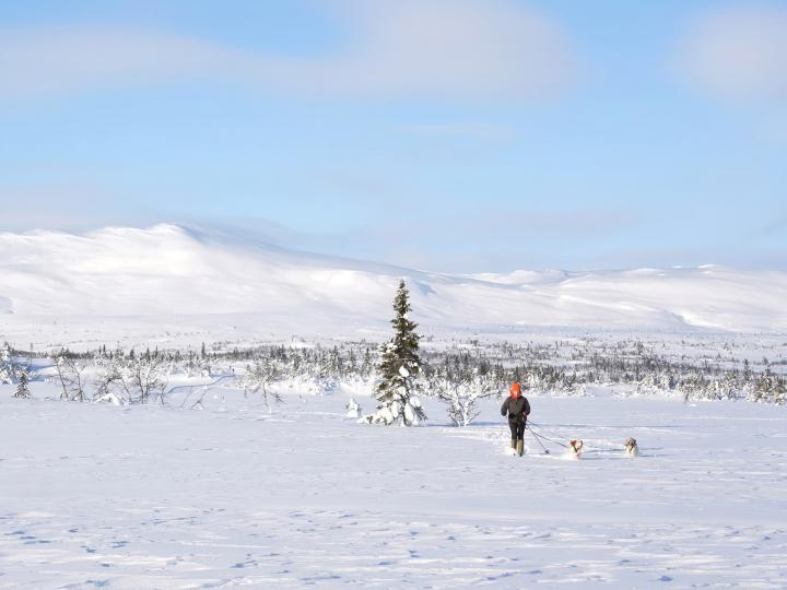 A snowfield in Norway with two English Setters and a woman in the distance.