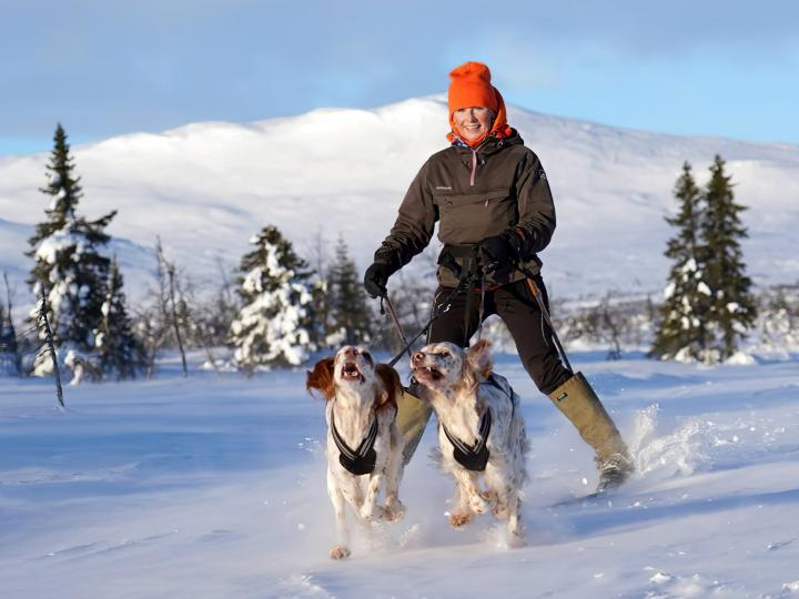 Two English Setters pull a woman on skies across a snowfield in Norway